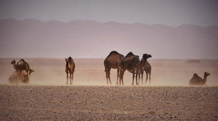 Camels on the desert.